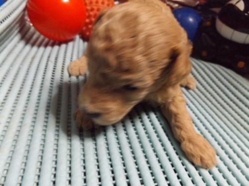 トイプードルの子犬(ID:1244111203)の1枚目の写真/更新日:2017-09-21
