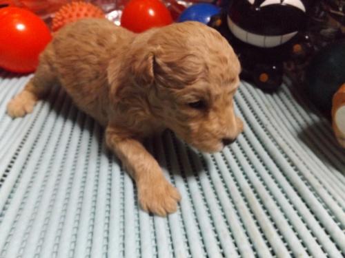 トイプードルの子犬(ID:1244111203)の3枚目の写真/更新日:2017-09-21