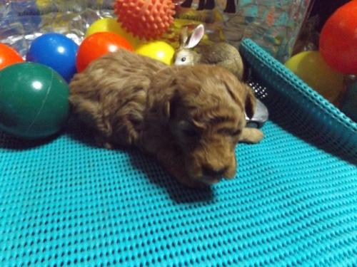 トイプードルの子犬(ID:1244111204)の1枚目の写真/更新日:2017-09-21