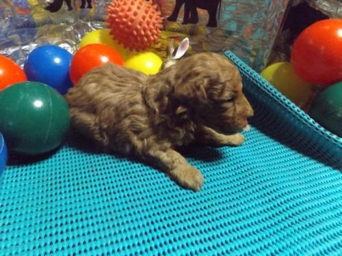 トイプードルの子犬(ID:1244111204)の2枚目の写真/更新日:2017-09-21