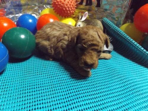 トイプードルの子犬(ID:1244111204)の3枚目の写真/更新日:2017-09-21