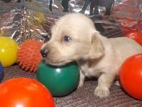 ミニチュアダックスフンド(ロング)の子犬(ID:1244111205)の1枚目の写真/更新日:2017-10-25