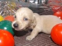 ミニチュアダックスフンド(ロング)の子犬(ID:1244111205)の2枚目の写真/更新日:2017-10-25