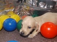 ミニチュアダックスフンド(ロング)の子犬(ID:1244111205)の3枚目の写真/更新日:2017-10-25