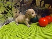 ミニチュアダックスフンド(ロング)の子犬(ID:1244111206)の1枚目の写真/更新日:2017-10-25