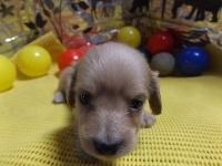 ミニチュアダックスフンド(ロング)の子犬(ID:1244111207)の1枚目の写真/更新日:2017-10-25