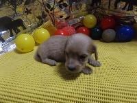 ミニチュアダックスフンド(ロング)の子犬(ID:1244111207)の2枚目の写真/更新日:2017-10-25