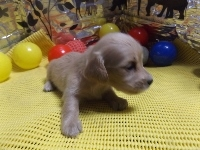ミニチュアダックスフンド(ロング)の子犬(ID:1244111207)の3枚目の写真/更新日:2017-10-25