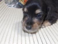 ミニチュアダックスフンド(ロング)の子犬(ID:1244111208)の1枚目の写真/更新日:2017-10-25