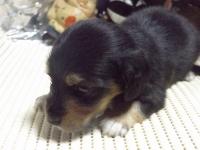 ミニチュアダックスフンド(ロング)の子犬(ID:1244111208)の3枚目の写真/更新日:2017-10-25