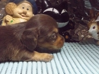ミニチュアダックスフンド(ロング)の子犬(ID:1244111209)の2枚目の写真/更新日:2017-10-25