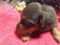 ミニチュアダックスフンド(ロング)の子犬(ID:1244111210)の1枚目の写真/更新日:2017-10-25
