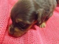 ミニチュアダックスフンド(ロング)の子犬(ID:1244111210)の2枚目の写真/更新日:2017-10-25