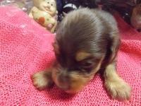 ミニチュアダックスフンド(ロング)の子犬(ID:1244111210)の3枚目の写真/更新日:2017-10-25