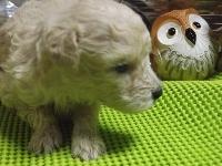 トイプードルの子犬(ID:1244111212)の1枚目の写真/更新日:2017-11-03