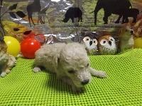 トイプードルの子犬(ID:1244111212)の2枚目の写真/更新日:2017-11-03