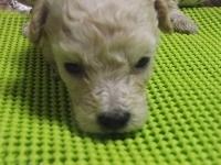 トイプードルの子犬(ID:1244111212)の3枚目の写真/更新日:2017-11-03