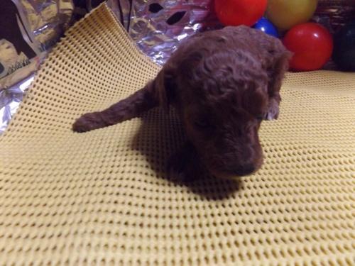 トイプードルの子犬(ID:1244111213)の1枚目の写真/更新日:2017-11-03