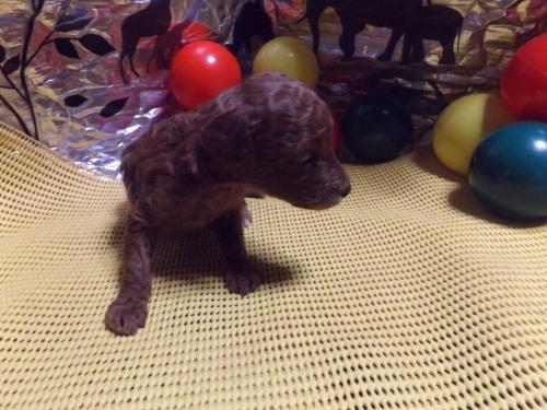 トイプードルの子犬(ID:1244111213)の2枚目の写真/更新日:2017-11-03