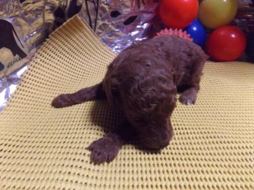 トイプードルの子犬(ID:1244111213)の3枚目の写真/更新日:2017-11-03