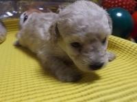 トイプードルの子犬(ID:1244111214)の2枚目の写真/更新日:2017-11-03