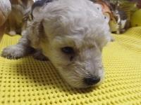 トイプードルの子犬(ID:1244111214)の3枚目の写真/更新日:2017-11-03