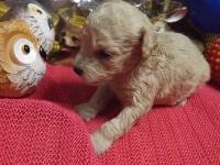 トイプードルの子犬(ID:1244111215)の1枚目の写真/更新日:2017-11-03