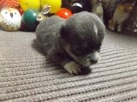 チワワ(スムース)の子犬(ID:1244111216)の3枚目の写真/更新日:2017-11-07