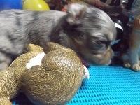 チワワ(スムース)の子犬(ID:1244111217)の1枚目の写真/更新日:2017-11-07