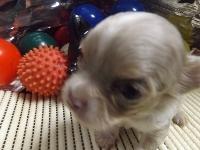 チワワ(スムース)の子犬(ID:1244111218)の1枚目の写真/更新日:2017-11-07