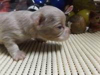 チワワ(スムース)の子犬(ID:1244111218)の3枚目の写真/更新日:2017-11-07