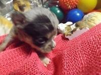 チワワ(スムース)の子犬(ID:1244111219)の1枚目の写真/更新日:2017-11-07