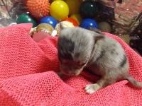 チワワ(スムース)の子犬(ID:1244111219)の2枚目の写真/更新日:2017-11-07