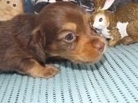 ミニチュアダックスフンド(ロング)の子犬(ID:1244111220)の1枚目の写真/更新日:2017-11-20