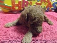 トイプードルの子犬(ID:1244111221)の1枚目の写真/更新日:2017-11-26