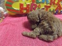 トイプードルの子犬(ID:1244111221)の2枚目の写真/更新日:2017-11-26