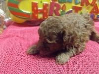 トイプードルの子犬(ID:1244111221)の3枚目の写真/更新日:2017-11-26