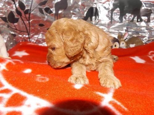 トイプードルの子犬(ID:1244111222)の3枚目の写真/更新日:2017-11-26