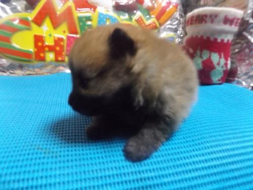 ポメラニアンの子犬(ID:1244111224)の1枚目の写真/更新日:2017-12-04