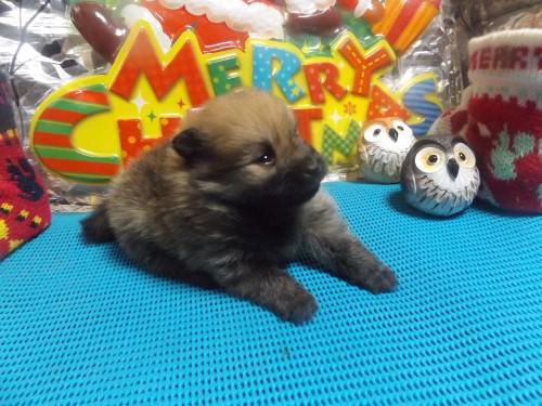 ポメラニアンの子犬(ID:1244111224)の2枚目の写真/更新日:2017-12-04