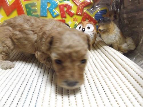 トイプードルの子犬(ID:1244111226)の1枚目の写真/更新日:2017-12-16