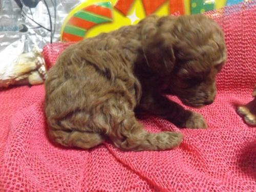 トイプードルの子犬(ID:1244111228)の3枚目の写真/更新日:2017-12-16