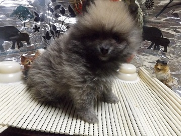 ポメラニアンの子犬(ID:1244111229)の1枚目の写真/更新日:2017-12-25