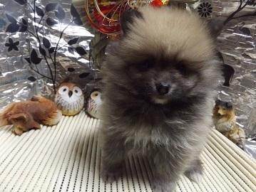 ポメラニアンの子犬(ID:1244111229)の2枚目の写真/更新日:2017-12-25