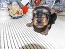 ヨークシャーテリアの子犬(ID:1244111230)の1枚目の写真/更新日:2017-12-28