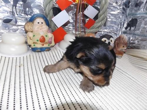 ヨークシャーテリアの子犬(ID:1244111230)の2枚目の写真/更新日:2017-12-28