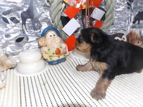 ヨークシャーテリアの子犬(ID:1244111230)の3枚目の写真/更新日:2017-12-28