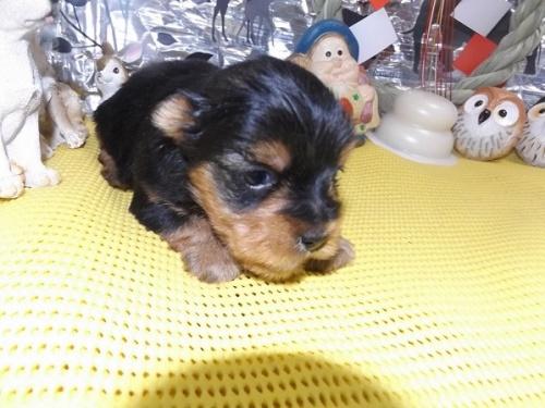 ヨークシャーテリアの子犬(ID:1244111231)の1枚目の写真/更新日:2017-12-28