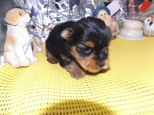 ヨークシャーテリアの子犬(ID:1244111231)の3枚目の写真/更新日:2017-12-28