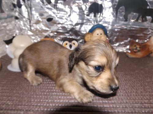 ミニチュアダックスフンド(ロング)の子犬(ID:1244111232)の1枚目の写真/更新日:2018-01-03